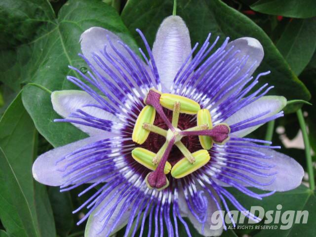 Passiflora 'Purple Haze'