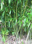 Bamboe Phyllostachys bissetii