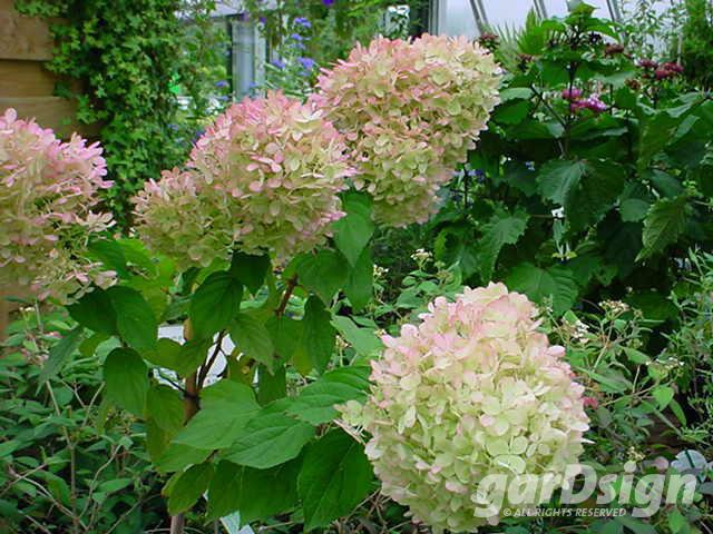 hortensia hydrangea paniculata 39 phantom 39 struiken gardsign. Black Bedroom Furniture Sets. Home Design Ideas