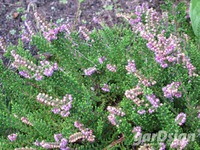 Calluna vulgaris 'Mullion'