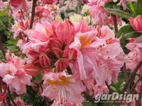 Rhododendron 'Cecile'