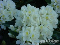 Rhododendron 'Chionoides'